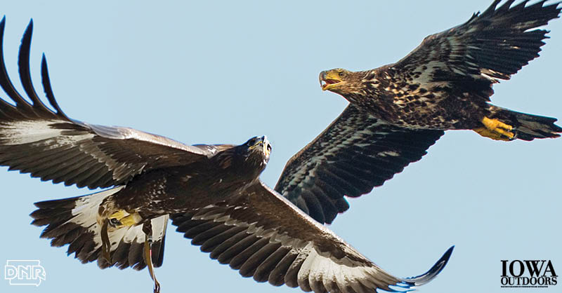 Learn how to tell the difference between a golden eagle and a bald eagle | Iowa Outdoors magazine