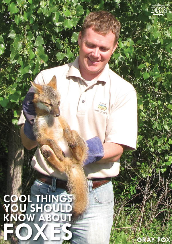 What the fox really says (it's called gekkering!) and more cool things about foxes) | Iowa DNR