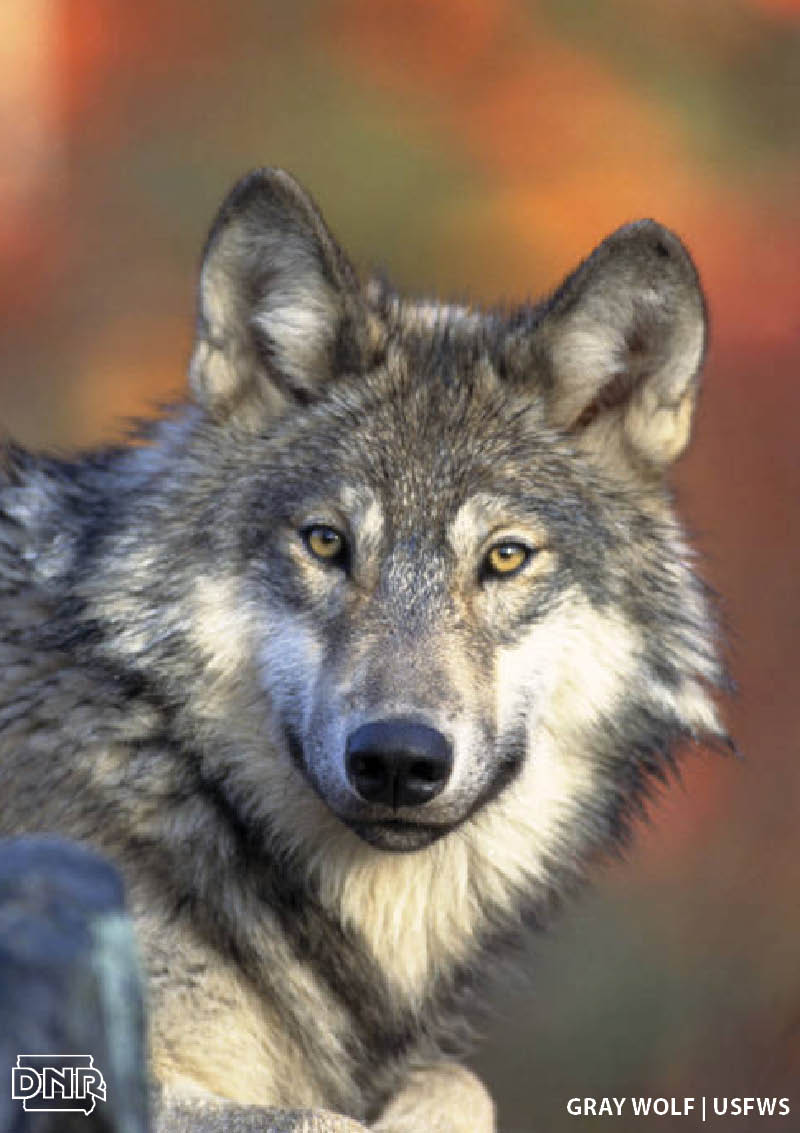 4 quick ways to tell the difference between a wolf and a coyote | Iowa DNR