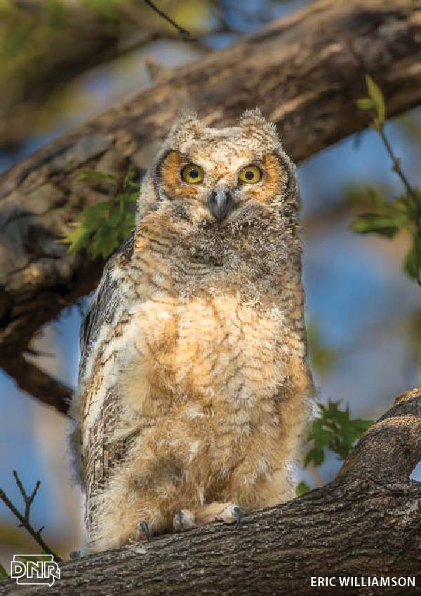 How to identify a great horned owl and other Iowa owls | Iowa DNR