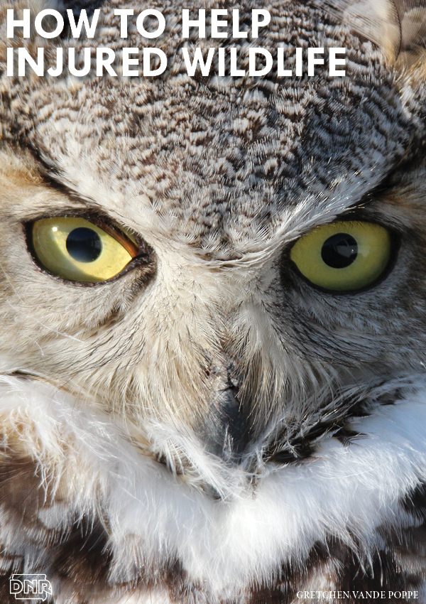 When Pete and Gretchen Vande Poppe saw this owl with a cracked beak, they knew they needed to call a licensed wildlife rehabilitator to help. Great tips on what to do if you find injured or sick wildlife | Iowa DNR