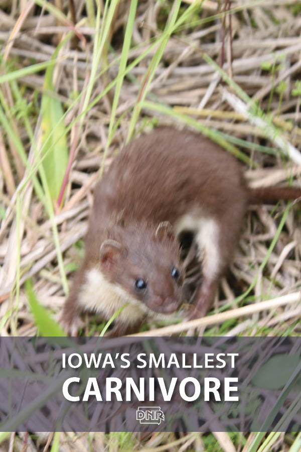 Did you know the tiny least weasel can take down prey larger than it is? More cool facts on Iowa's smallest carnivore  |  Iowa DNR