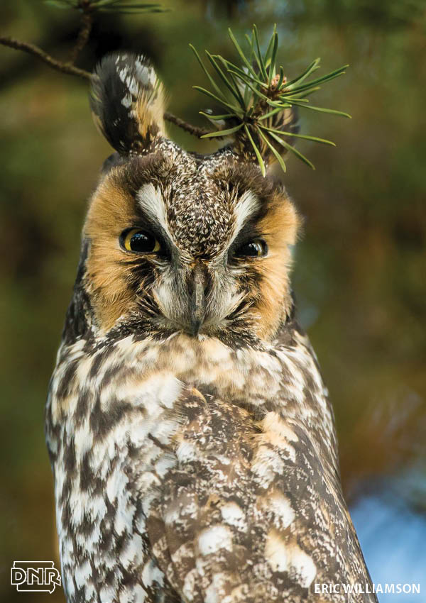 How to identify a long-eared owl and other Iowa owls | Iowa DNR
