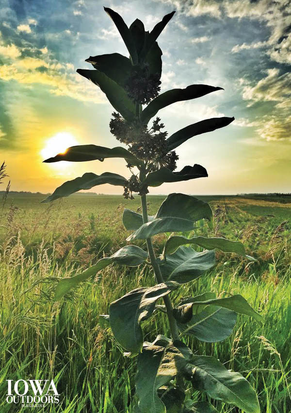 Make your own seed balls this fall when milkweed seedpods are ready. | Iowa Outdoors magazine