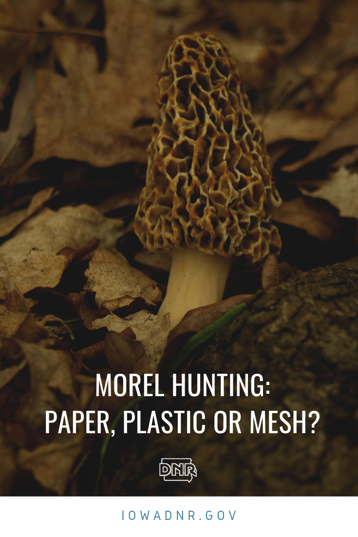 Seasoned morel mushroom hunters often advise novices to skip plastic and pack mesh bags when collecting Iowa's spring delectable gift. But are they right?  |  Iowa Outdoors Magazine