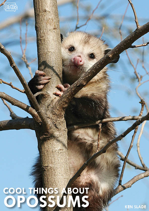 Did you know? Opossums are the only marsupial that live north of Mexico | Iowa DNR
