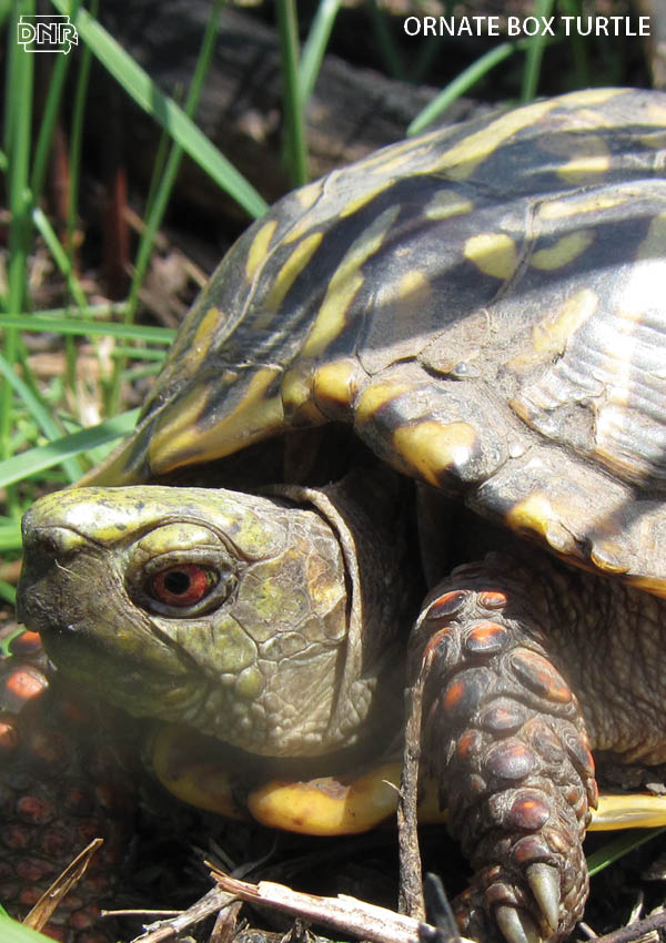 Ornate box turtles are the only fully terrestrial turtles in Iowa! More cool things you should know about Iowa's turtles | Iowa DNR