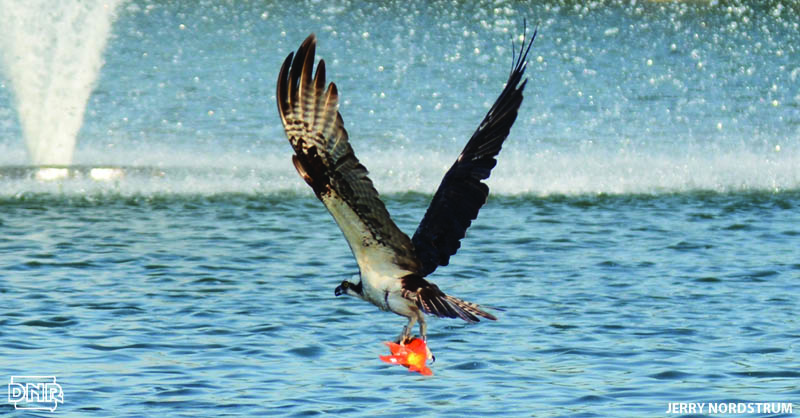 Osprey can see 5 times more clearly than people, which makes them great at snatching up fish | Photo: Jerry Nordstrum | Iowa Outdoors magazine