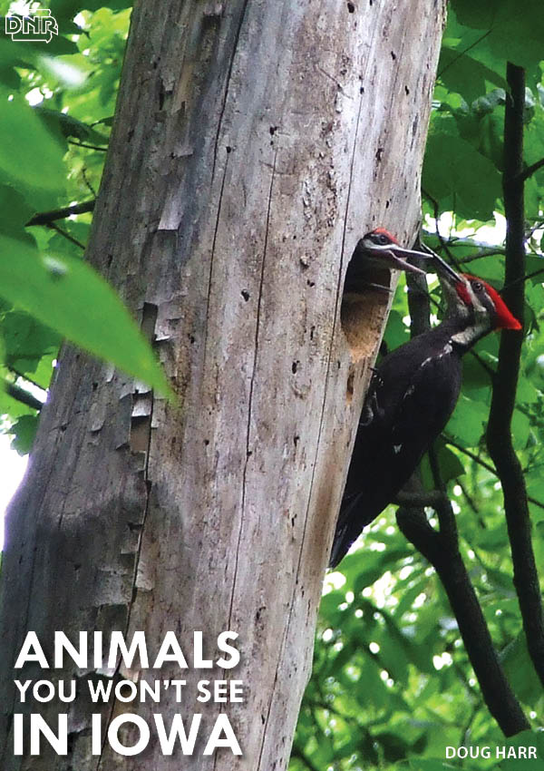 The pileated woodpecker is one animal that's tough to get a glimpse of in Iowa - learn about it and 8 others