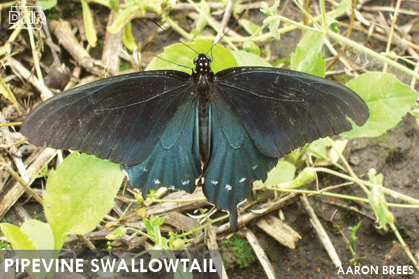 Pipevine swallowtail butterfly | Iowa DNR