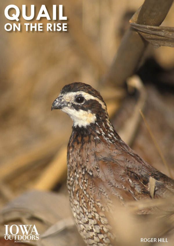 Bobwhite quail are on the rise in Iowa, good news for the species and for hunters | Iowa Outdoors