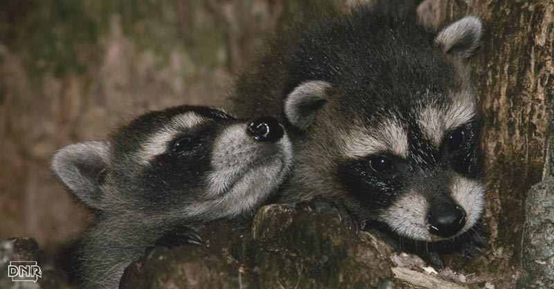 6 Cool Things You Might Not Know About Raccoons Dnr News Releases