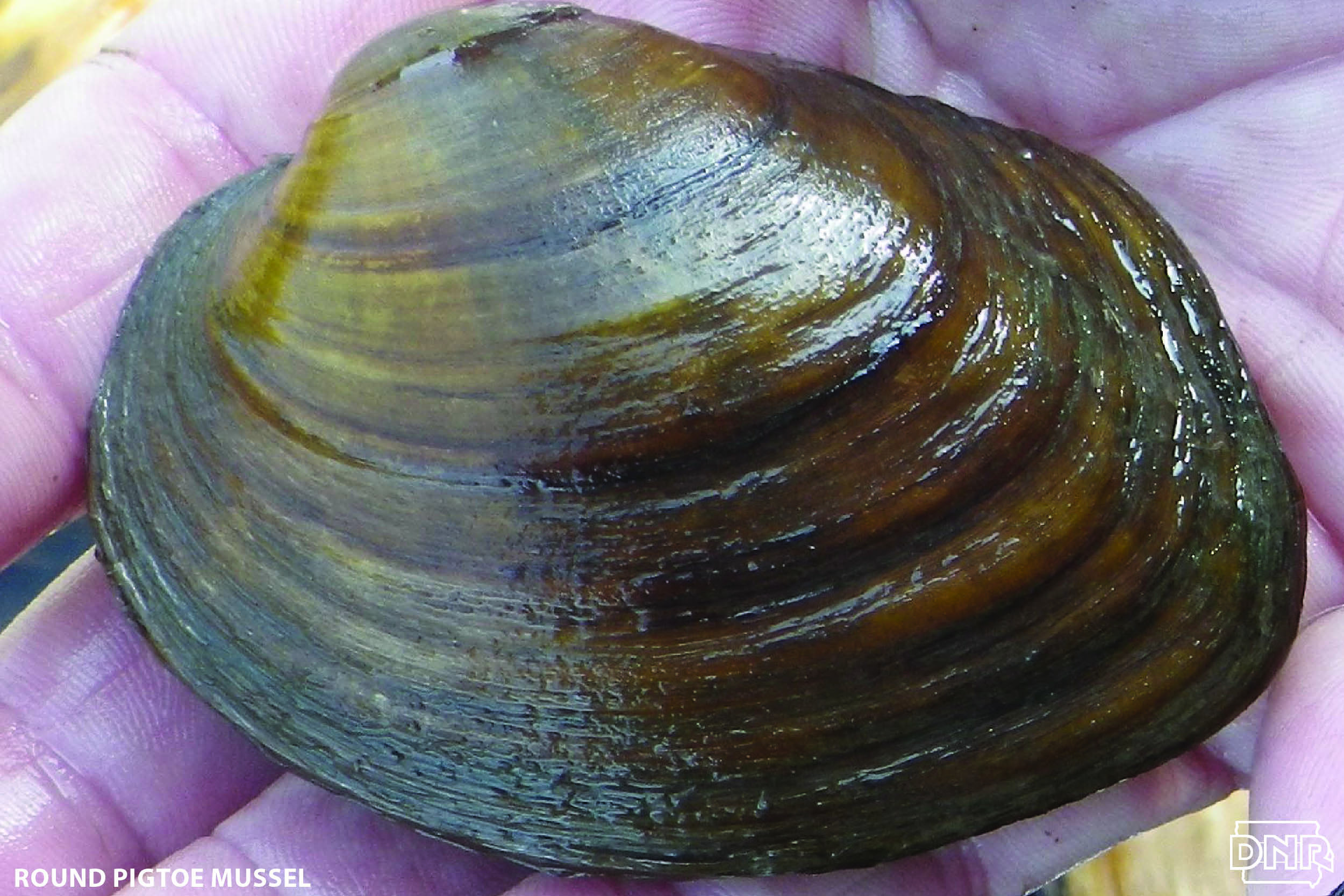 Cool things you should know about muckets and other mussels | Iowa DNR