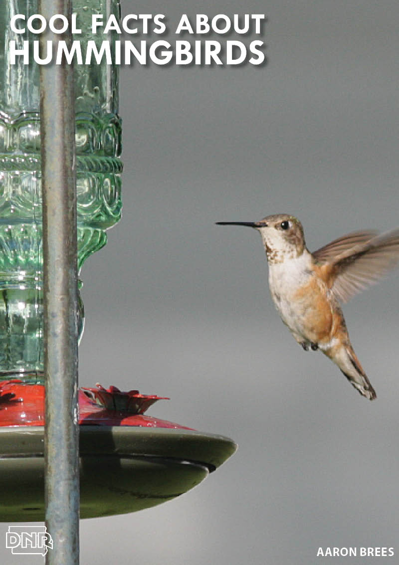 7 cool things you should know about hummingbirds | Iowa DNR