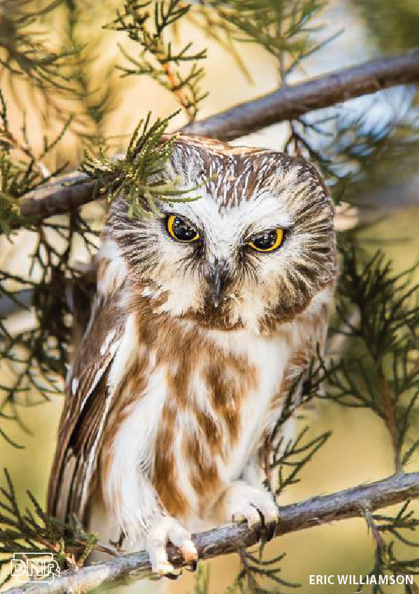 How to identify a northern saw-whet owl and other Iowa owls | Iowa DNR
