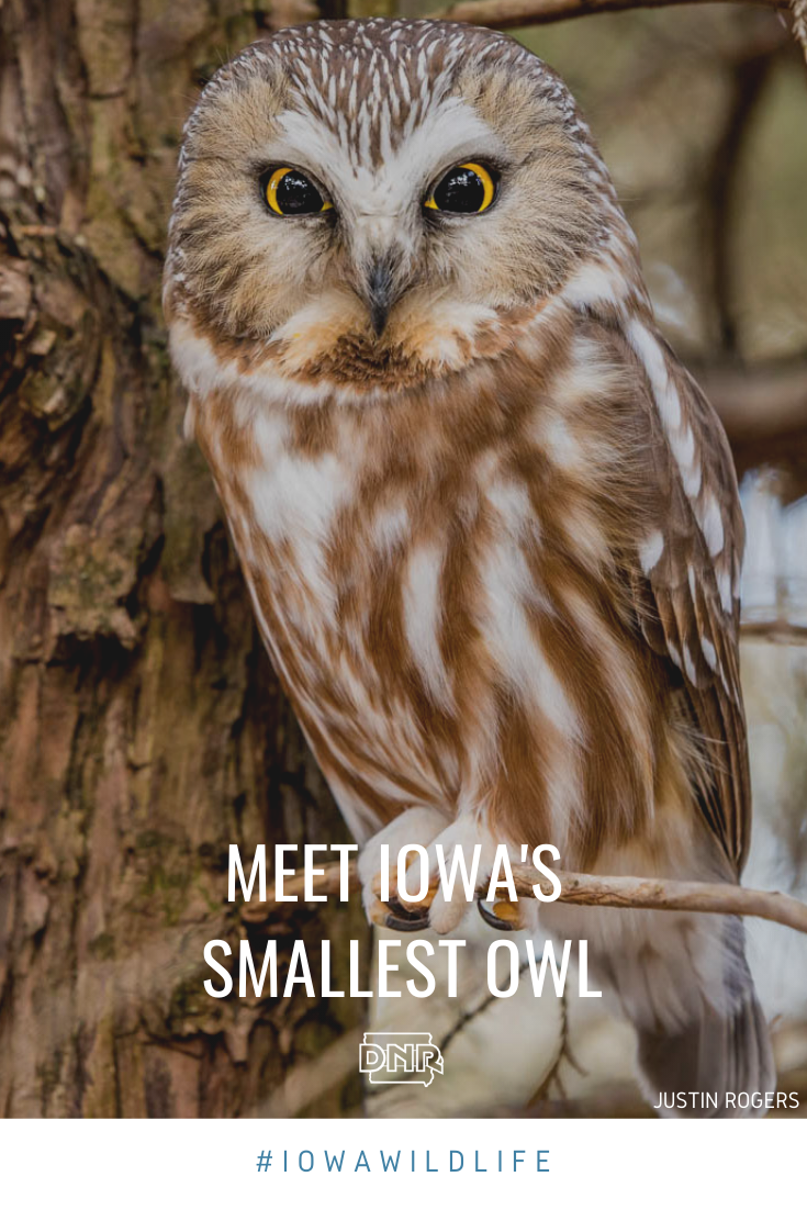 What has bright yellow eyes, weighs less than a lemon, and winters in Iowa? The northern saw-whet owl!  |  Iowa DNR