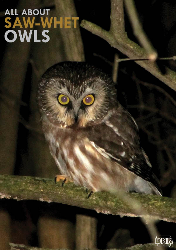 Learn about Iowa's smallest owl, the saw-whet, from Iowa Outdoors magazine