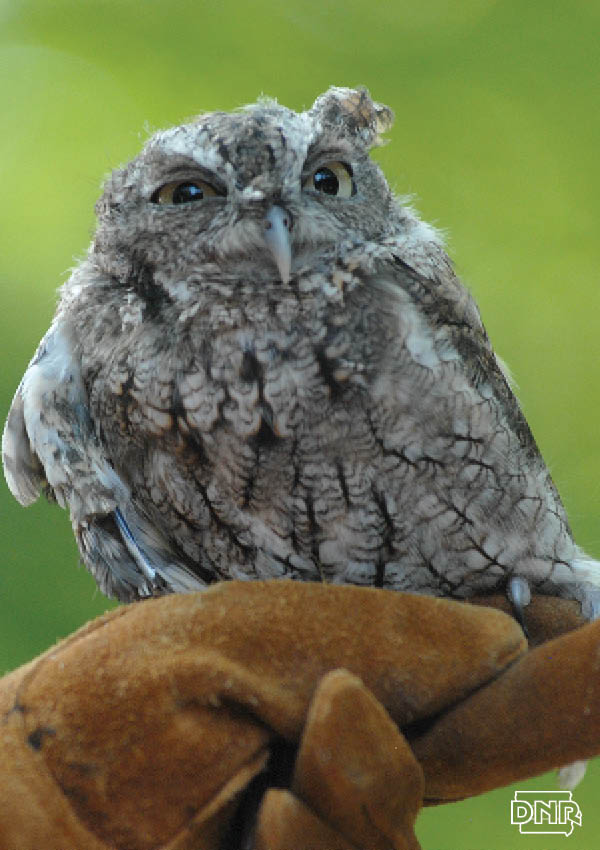 Iowa owl identification guide - DNR News Releases