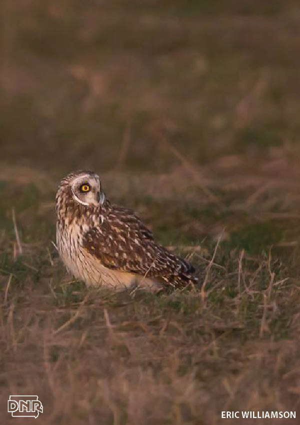 How to identify a short-eared owl and other Iowa owls | Iowa DNR