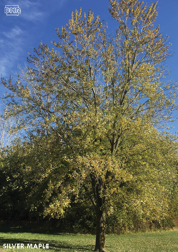 Silver maples are great fast-growing trees | Iowa DNR