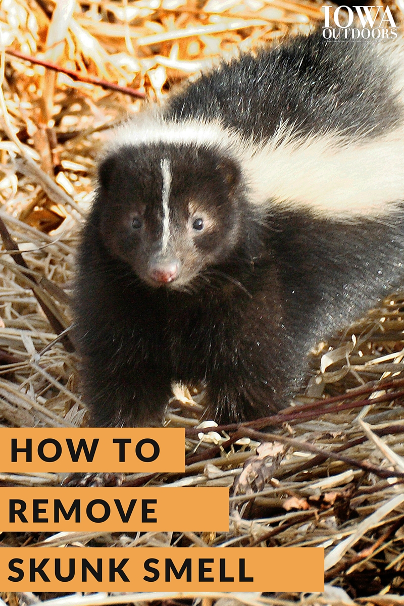Here's why skunk spray is so smelly and how you can remove it | Iowa Outdoors magazine