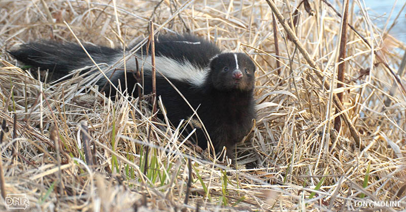 Did you know skunks don't spray right away? They first warn predators and competitors of the impending stench by stomping their feet, clicking their teeth and raising their tails. More cool things about skunks from the Iowa DNR