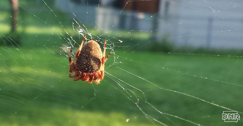Not all spiders build webs and more cool things you should know about spiders | Iowa DNR.
