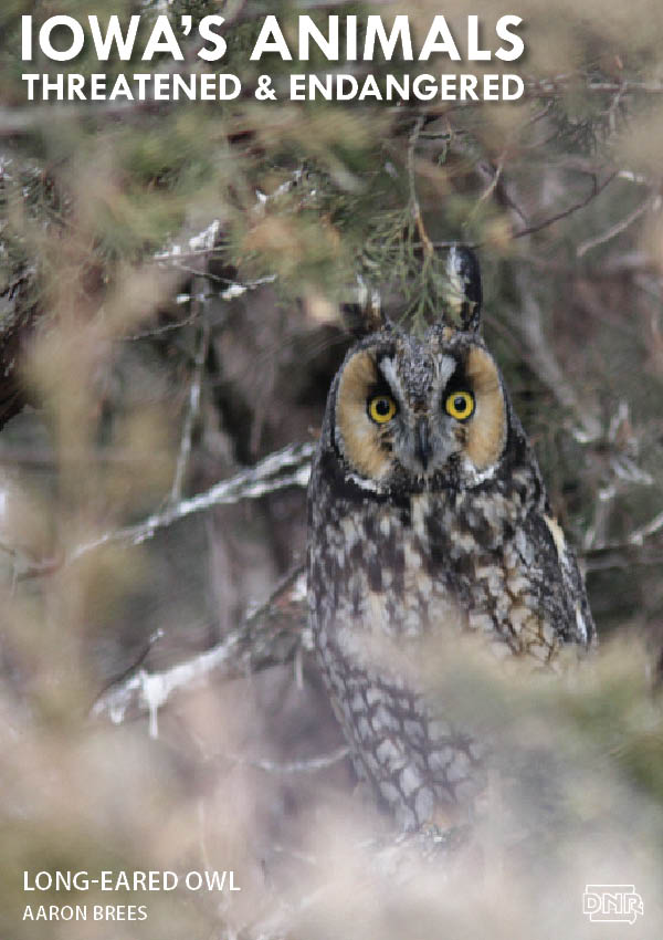 The long-eared owl is one of Iowa's threatened and endangered species | Iowa DNR