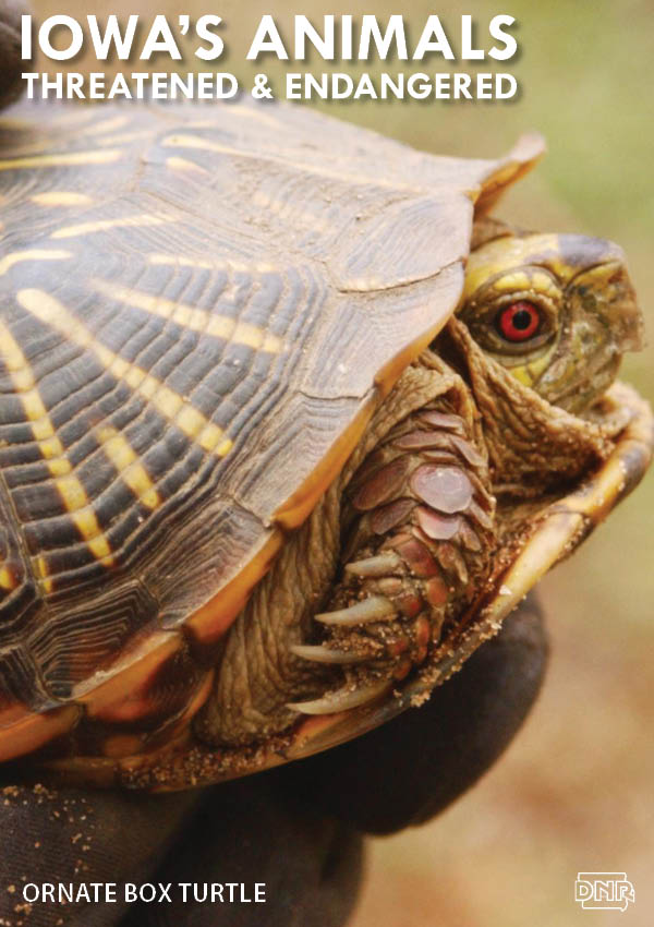 The ornate box turtle is one of Iowa's threatened and endangered species | Iowa DNR