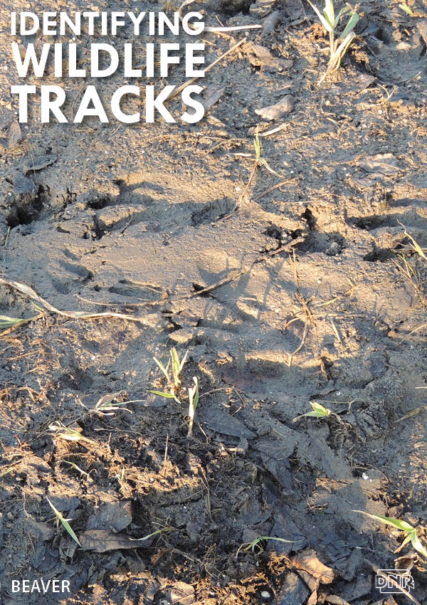 Learning how to identify common wildlife tracks, like these beaver prints | Iowa DNR