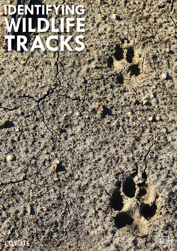 Learning how to identify common wildlife tracks, like these coyote prints | Iowa DNR