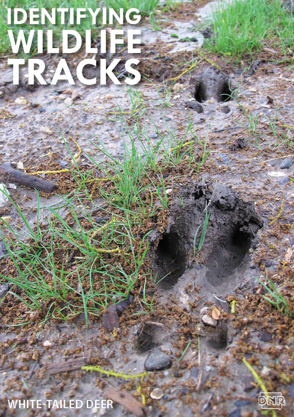 Learning how to identify common wildlife tracks, like these deer prints | Iowa DNR