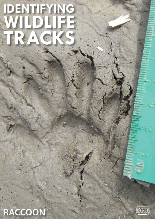 Learning how to identify common wildlife tracks, like these raccoon prints | Iowa DNR