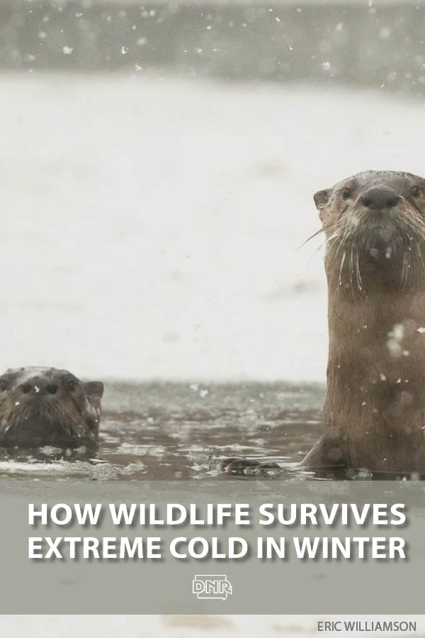 How does wildlife survive brutal cold and winter storms? | Iowa DNR