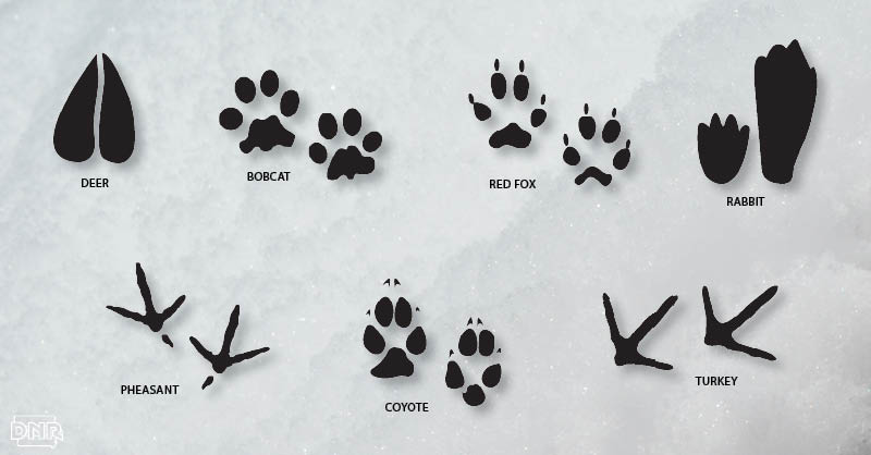 picture about Printable Animal Tracks referred to as Leap Into Wintertime Wildlife Monitoring - DNR Information Releases