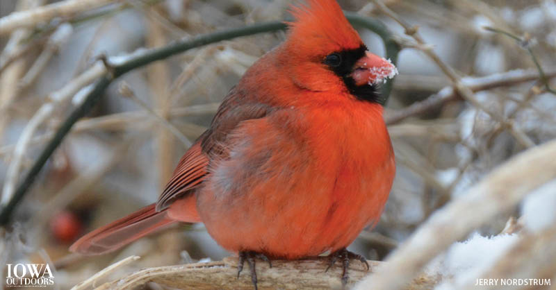 Why don't birds feet get cold in the winter? | Iowa Outdoors magazine