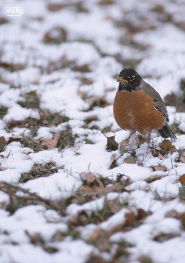Learn why robins are bigger in the spring | Iowa DNR