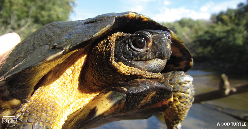 Wood turtles like to snack on berries and dandelions, but they're not too good to eat carrion. More cool things you should know about Iowa's turtles | Iowa DNR