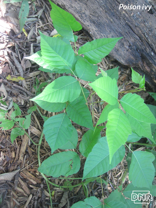 Identifying poison ivy and other poisonous plants | Iowa DNR