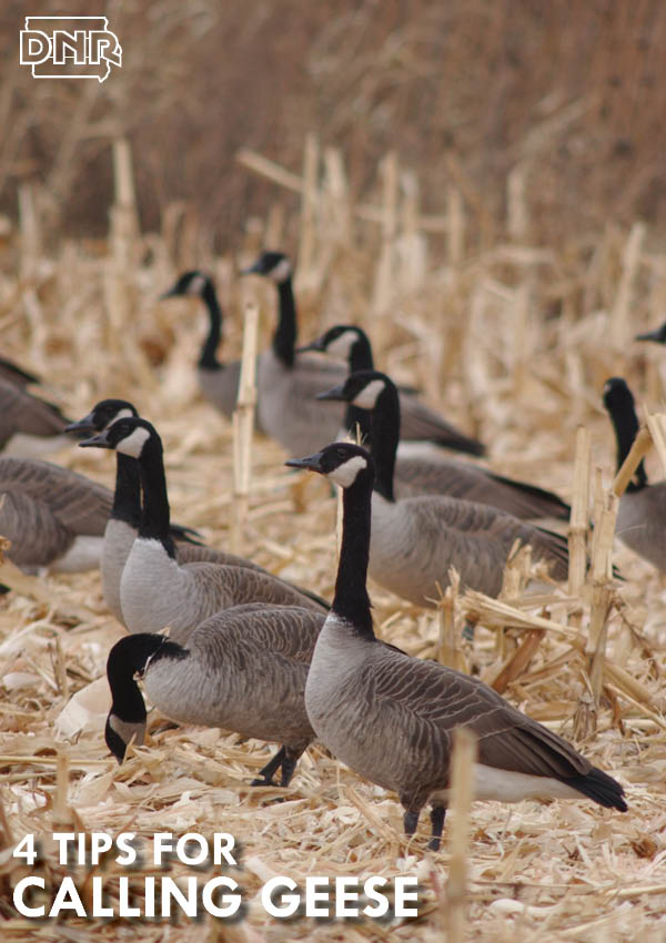 Four tips for calling geese from the Iowa DNR
