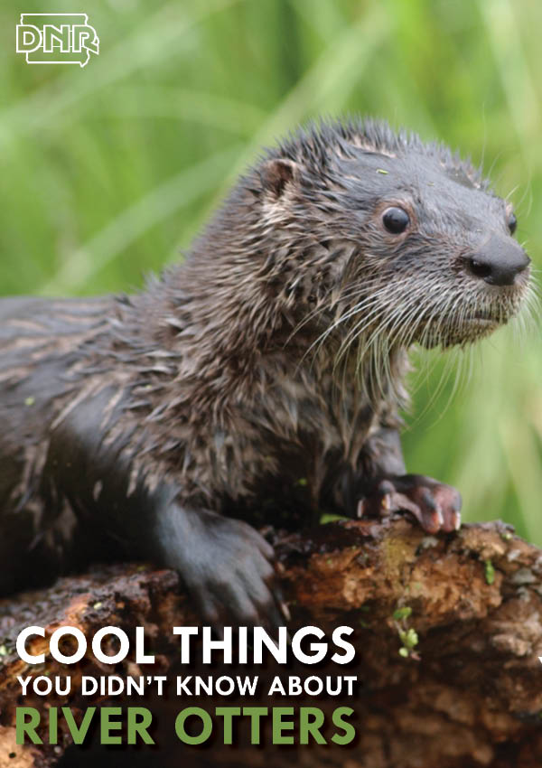 Cool things you didn't know about river otters from the Iowa DNR