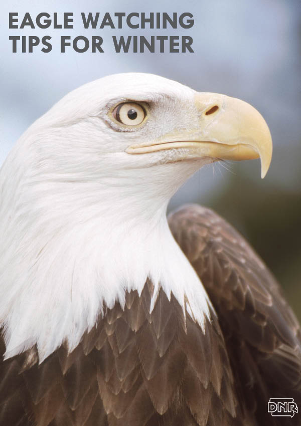 Tips for watching bald eagles this winter from the Iowa DNR