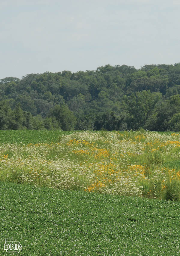 Strips of prairie among cropfields are helping improve water quality and wildlife habitat. From the Iowa DNR
