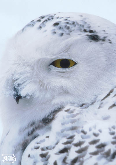 Snowy owl info from the Iowa DNR