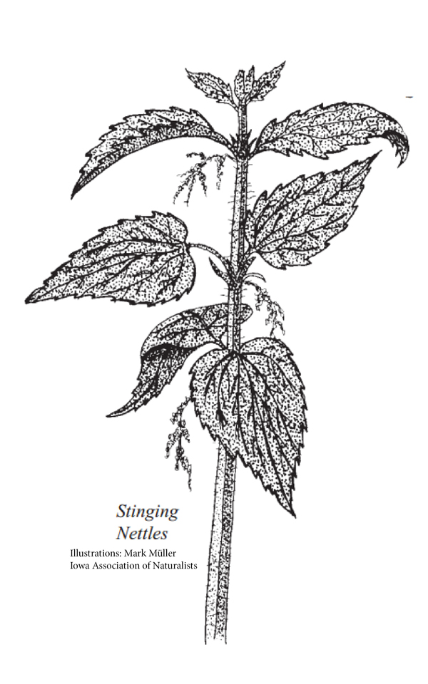 Identifying stinging nettles and other poisonous plants from the Iowa DNR
