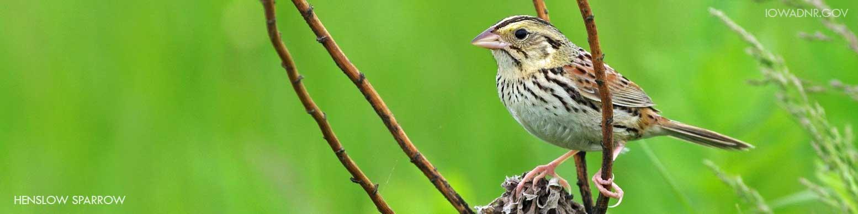 Hanslow Sparrow, endangered