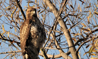 Rare-shouldered Hawk