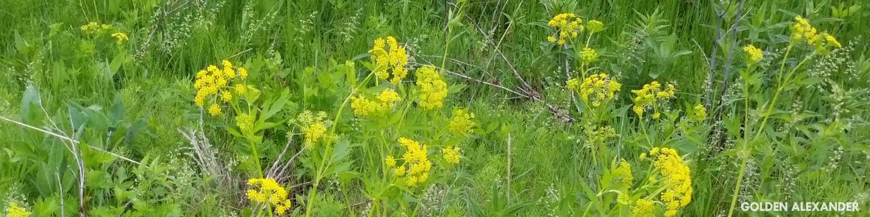 Golden Alexander, a native prairie plant