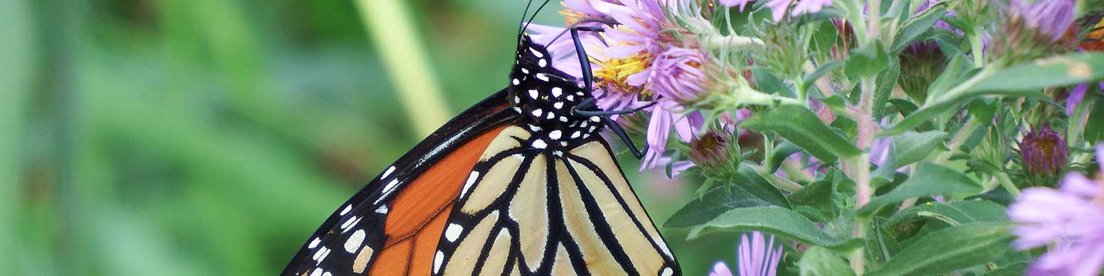 Monarch nectaring on New England Aster during migration in Southeast Iowa