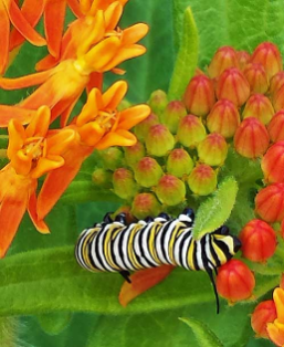 monarch butterfly caterpillar feasting on butterfly milkweed.